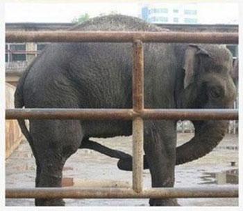 Elephant Jacking Off
